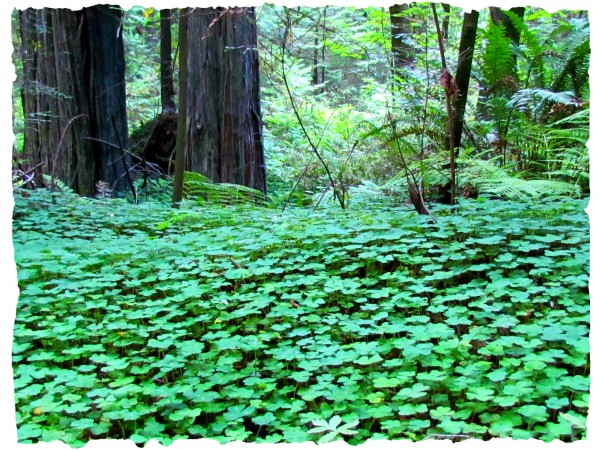 California forest/Suzys Artsy Craftsy Sitcom #california #photography