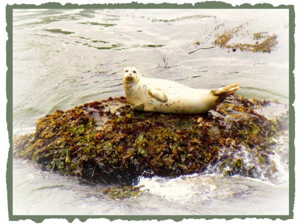 California Seal/Suzys Artsy Craftsy Sitcom #photography #challenge #wildlife