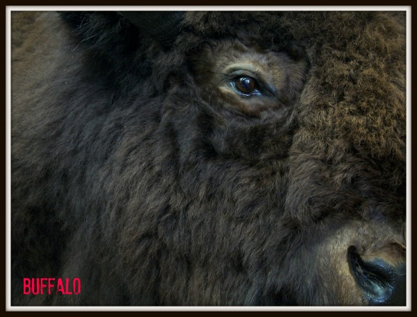 Buffalo #photography #challenge #wildlife