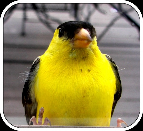 Yellow Finch #photography #challenge #wildlife