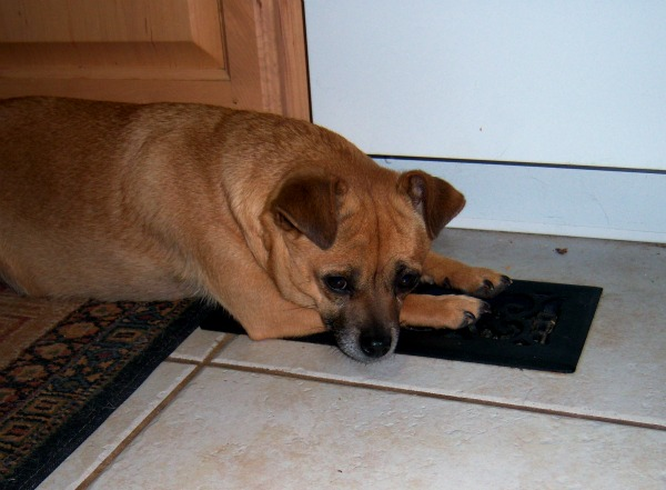 dog on heat vent